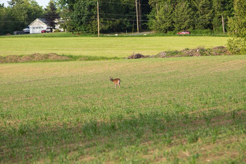 When we first came along mamma deer was laying down in the middle of this corn field.