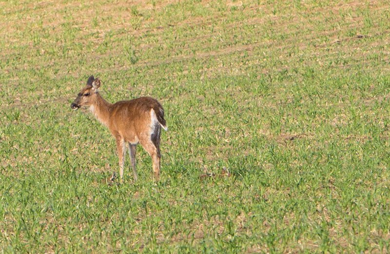 Like most wild animals the deer went into alert and stood up when the car stopped.