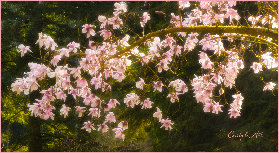 tree blossoms soft